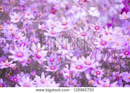Cosmos flower field. flower, field, cosmos, garden,