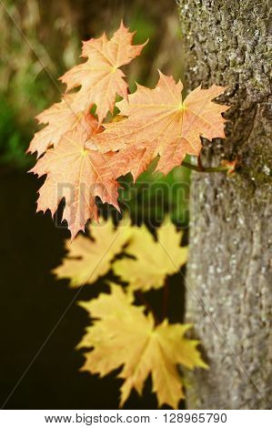 abstract background with a large maple leaves suitable as a container