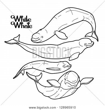Graphic beluga whale collection. White whale. Sea creature isolated on white background.  Vector ocean mammal. Coloring book page design for adults and kids