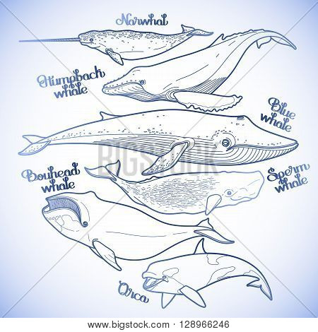 Collection of graphic whales isolated on white background. Vector giant sea and ocean creatures in blue colors. Coloring book page design
