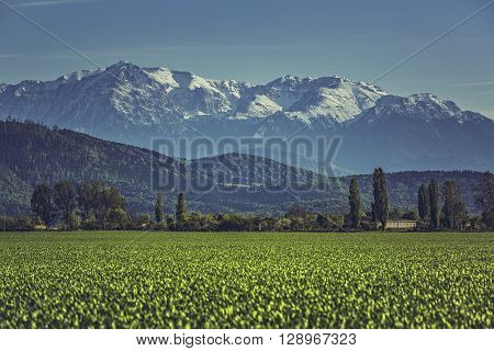 Green Cereal Field And Mountains