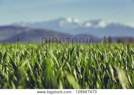 Low angle close view in a young green wheat field during springtime near Bucegi mountains Romania. Shallow depth of field.
