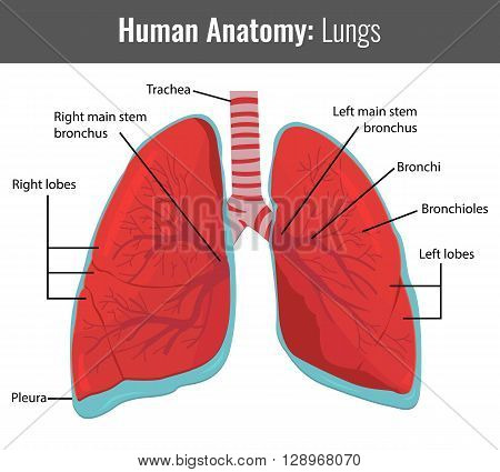Human Lungs detailed anatomy. Vector Medical illustration.
