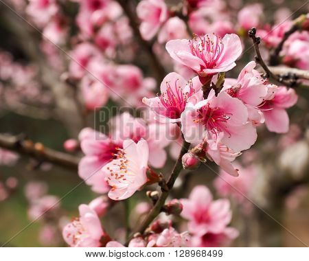 Bright pale pink peach blossoms with distinct dark pink stamens, closeup.