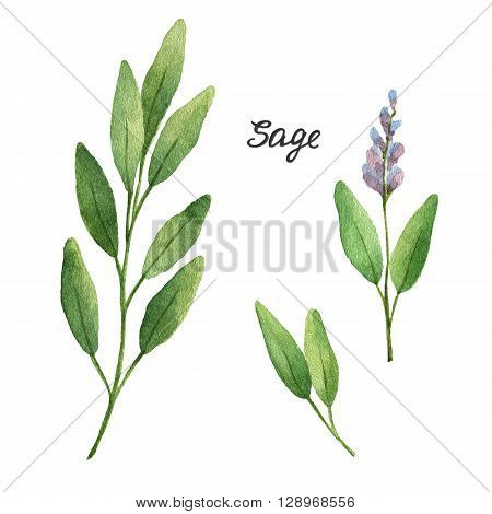Watercolor branches and leaves of sage . Eco products isolated on white background. Watercolor illustration of culinary herbs and spices to your menu.
