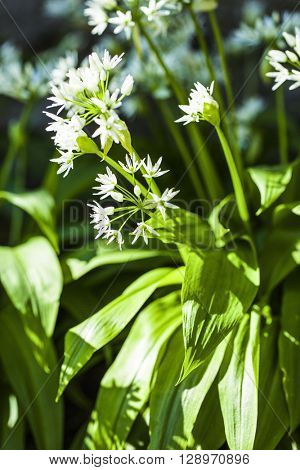 Blooming wild garlic with white blooms. Bear garlic is very healthy herb.