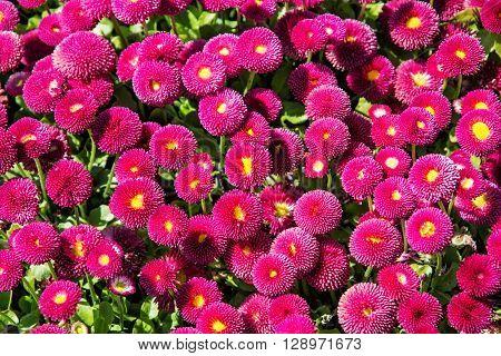 Pink English daisies - Bellis perennis - in spring park. Seasonal natural scene. Bellasima rose. Close up nature.