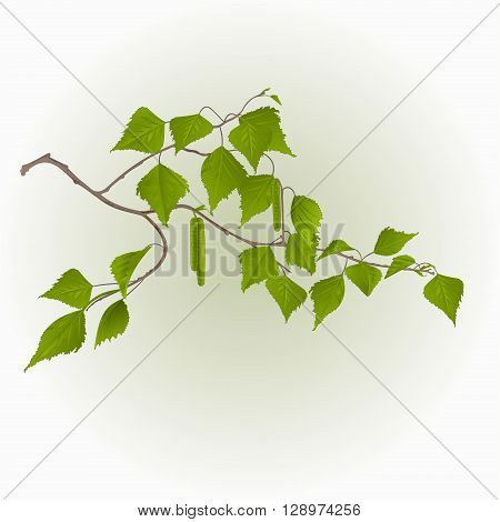 Birch twig with catkins natural background vector illustration