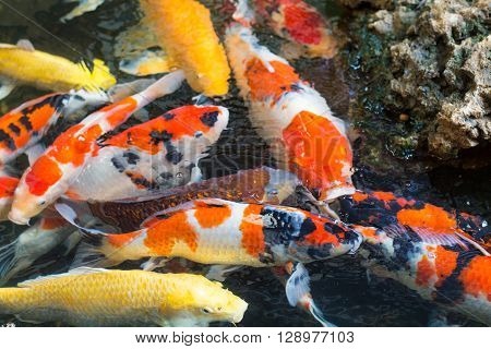Colorful fish fancy carp or fancy carp black carp. A freshwater fish of the carp