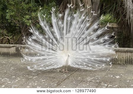 White peafowl Indian Peafowl, resting relaxed in the street