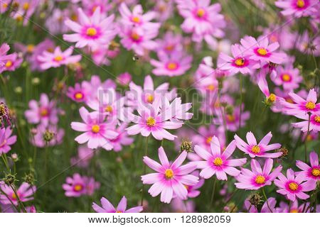 Cosmos flower field. Cosmos flower field background.