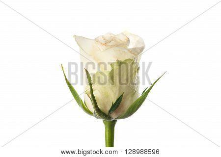 Slightly Faded White Rosebud On White
