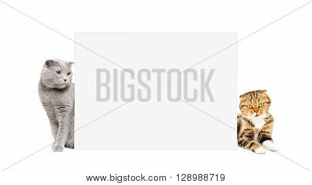 Two cats Scottish Fold peeking from behind a banner, isolated on white background