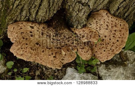A tree mushroom, Polyporus squamosus, is known a Dryad's Saddle, Hawk Wing and Pheasant's Back.  It is edible