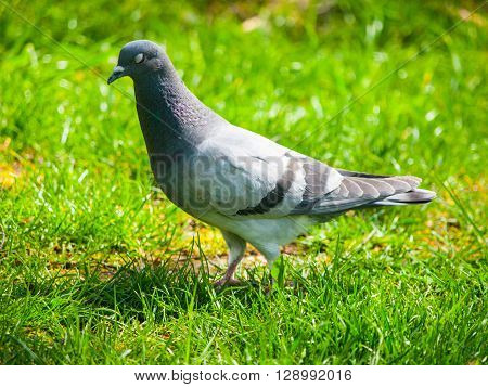 Feral pigeon, Columba livia domestica, walks in the grass