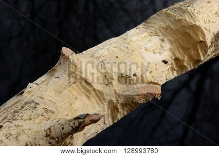Jobs beavers on aspen tree on the texture of carved wood