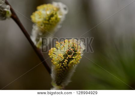 Willow bud with drops of water in the wild in the early spring morning after the rain
