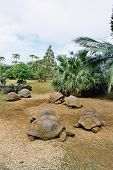 pic of the hare tortoise  - beautiful giant turtles at park of mauritius - JPG