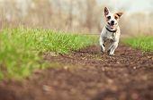 Running dog at summer. Jumping fun and happy pet walking outdoors. poster