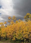 Storm Clouds With Golden Aspen