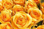 pic of yellow rose  - yellow roses - JPG