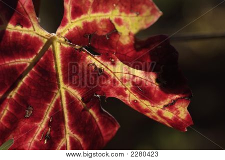 Colors Of Autumn Grapevine (Gamay)