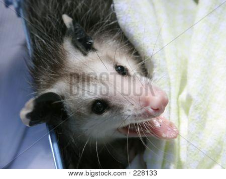 Orphaned Opossum Baby