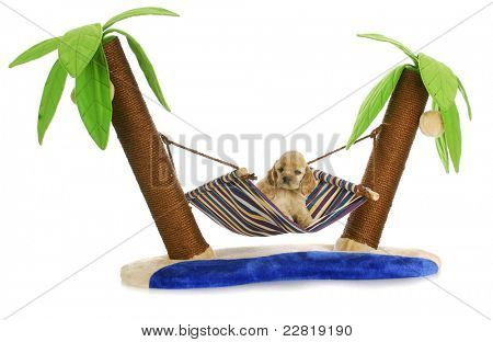 puppy relaxing - american cocker spaniel puppy laying in a hammock between two palm trees - 6 weeks old