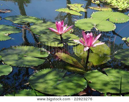 Piscina de flor de loto