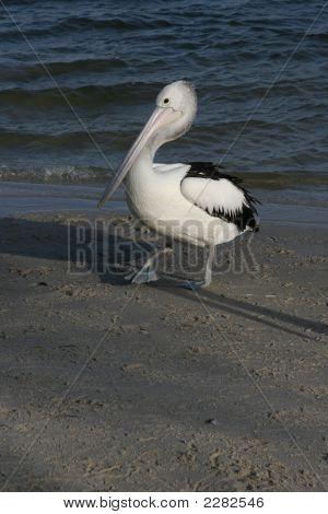Pelicanwalks2