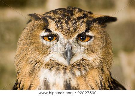 Eurasian Eagle Owl head on