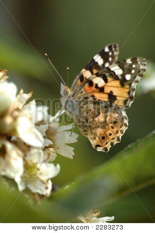 Tortoiseshellbutterfly