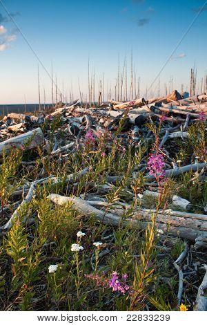 Fireweed Growing On Dead Logs