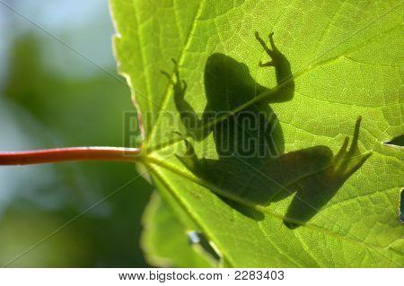 Common Frog On Leaf