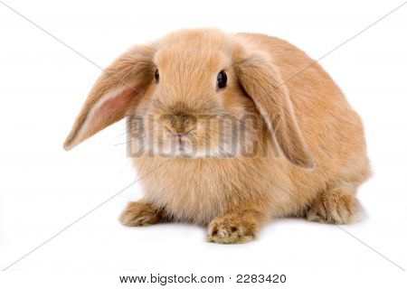 Brown-White Bunny, Isolated On White