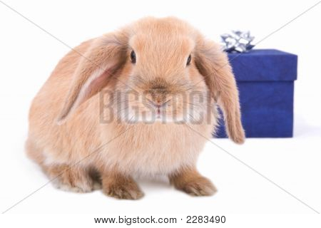 Lop Bunny Before A Blue Gift Box With Silver Star, Isolated On White Background