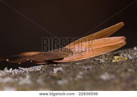 Ash keys on lichen-covered branch