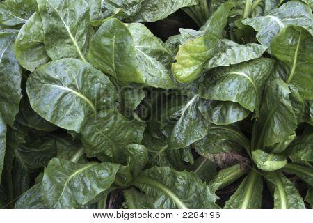 French Garden Spinach