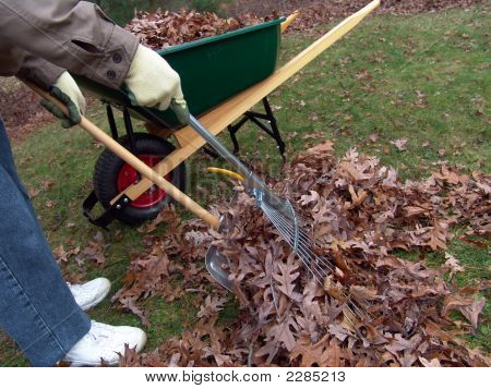 Wheelbarrow And Leaves Collecting
