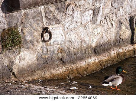 Duck Stone Wall