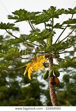 Birds And Gecko On Papaya Tree