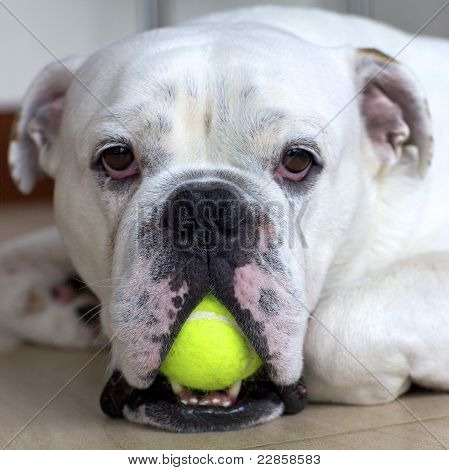 English Bulldog with Tennis Ball