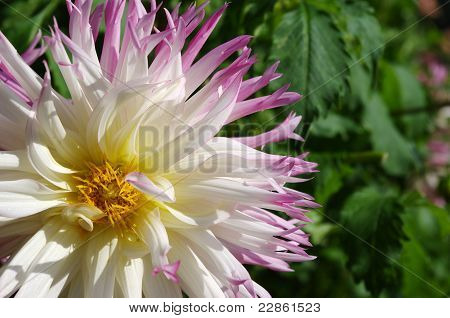 White and pink dahlia