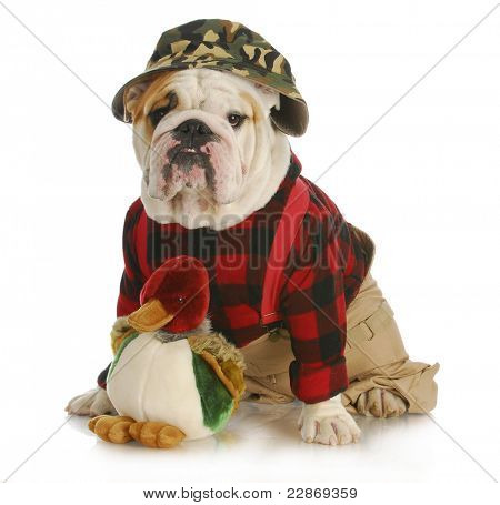 hunting dog - english bulldog dressed up like a hunter on white background