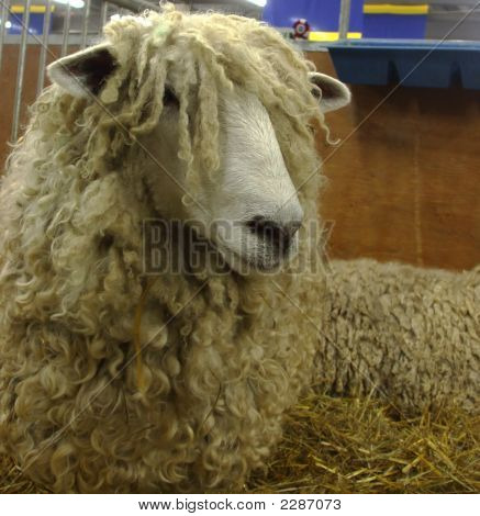 Longwool Sheep