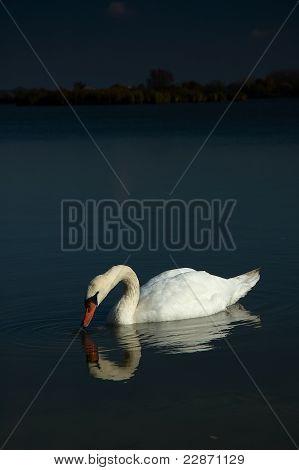 Swan On Lakes