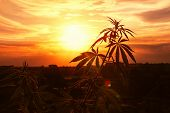 Growing Marijuana, Cannabis Grows, Horizontal Photograph Against Sky With Rays Of Outgoing Sun. Hemp poster
