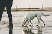 Young Muscular Labrador Retriever Dog Puppy Pet Going For A Wlk With Person On Sandy Beach Smelling  poster