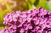 Lilac Flowers, Spring Flower Background. Selective Focus At The Central Lilac Flowers, Spring Lilac  poster