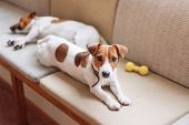 Cute Jack Russell Dogs Sleeping And Resting On The Couch. Dog Having A Siesta, Daydreaming poster